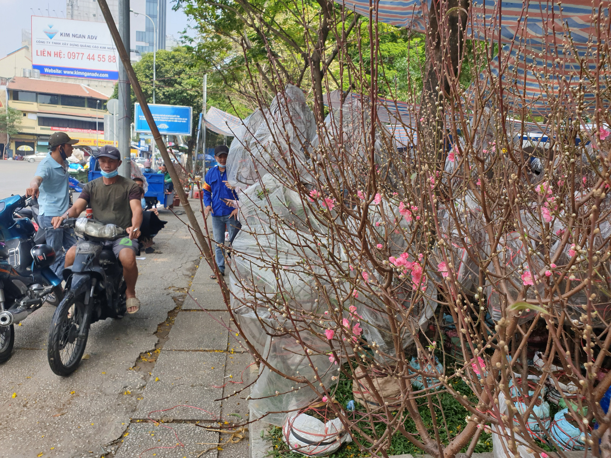 Peach blossom trees are on display for sale at the 23/9 Park in District 1, Ho Chi Minh City, February 2021. Photo: Nguyen Tri / Tuoi Tre
