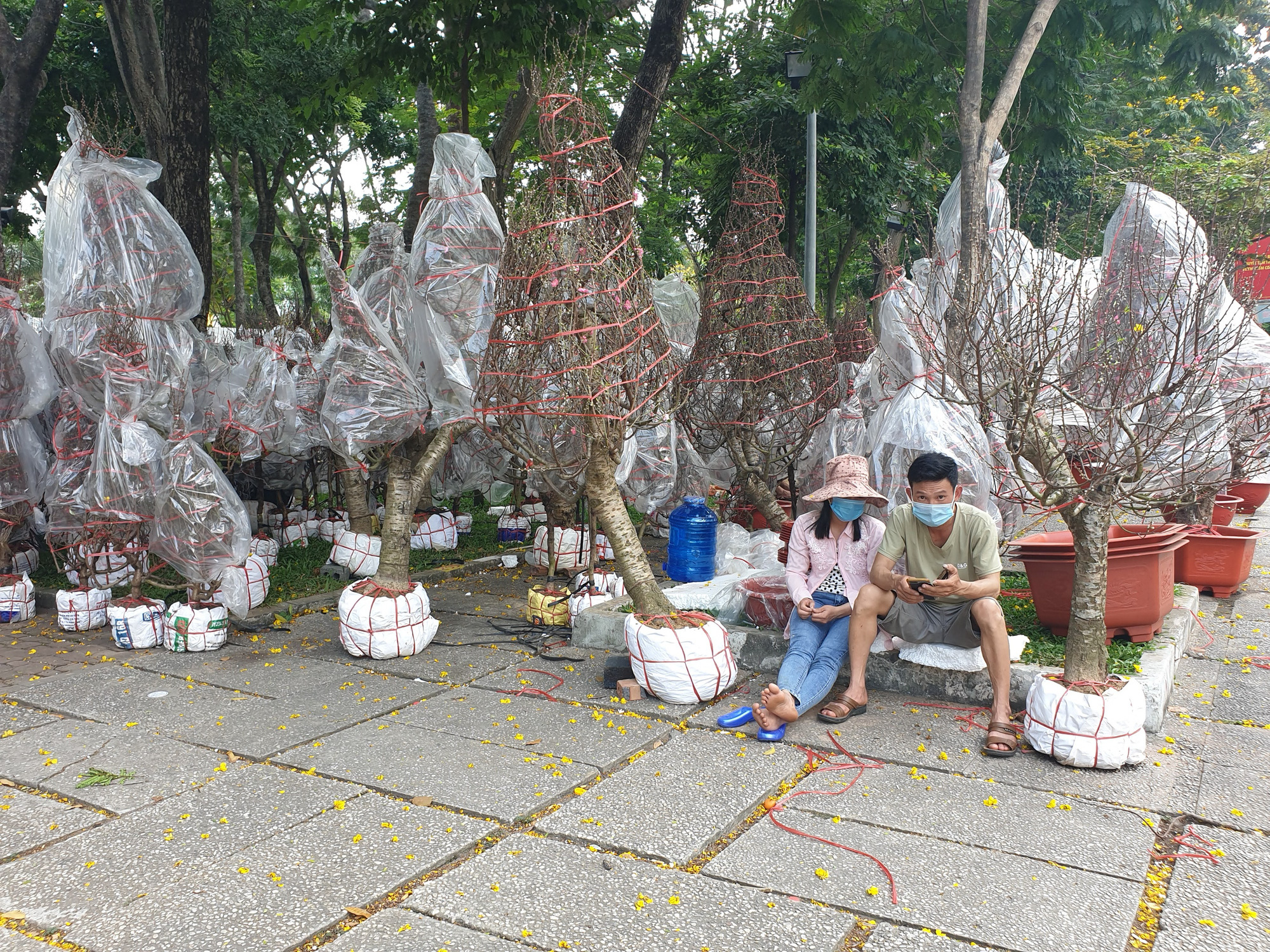 Peach blossom sellers on tenterhooks over low demand in Ho Chi Minh City