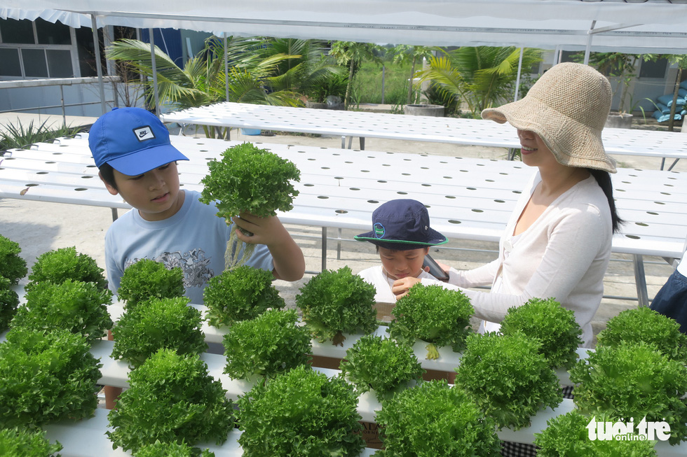 To Uyen and her children, Vinh and Han, harvest Frillice lettuce at Mekong Farm in Ho Chi Minh City. Photo: T.T.D. / Tuoi Tre