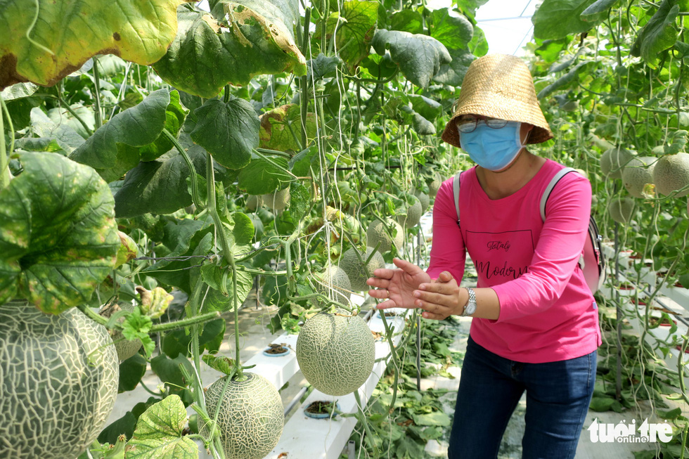 A visitor picks cantaloupe at Mekong Farm in Ho Chi Minh City. Photo: T.T.D. / Tuoi Tre
