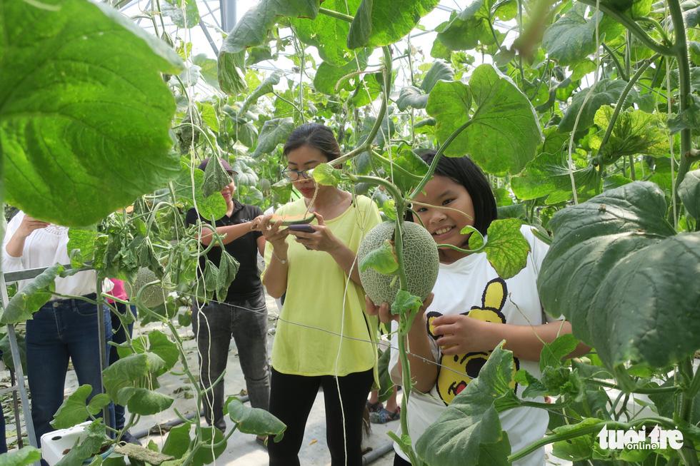 Visitors pick cantaloupe at Mekong Farm in Ho Chi Minh City. Photo: T.T.D. / Tuoi Tre
