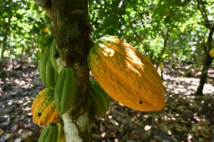 A cocoa tree is seen in a plantation in Ivory Coast. Photo: AFP