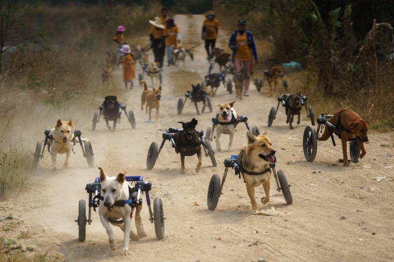Disabled dogs in mobility aids run during a daily walk at The Man That Rescues Dogs Foundation in Chonburi, Thailand, January 26, 2021. Photo: Reuters