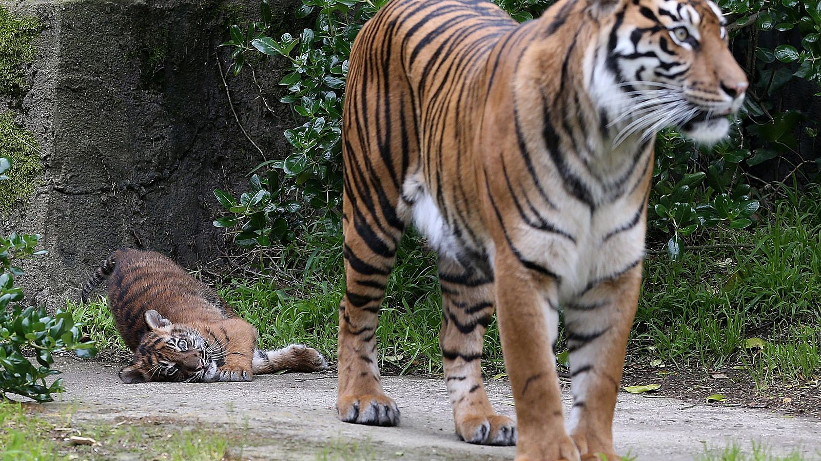 Two Sumatran tigers escape Indonesian zoo, one shot dead