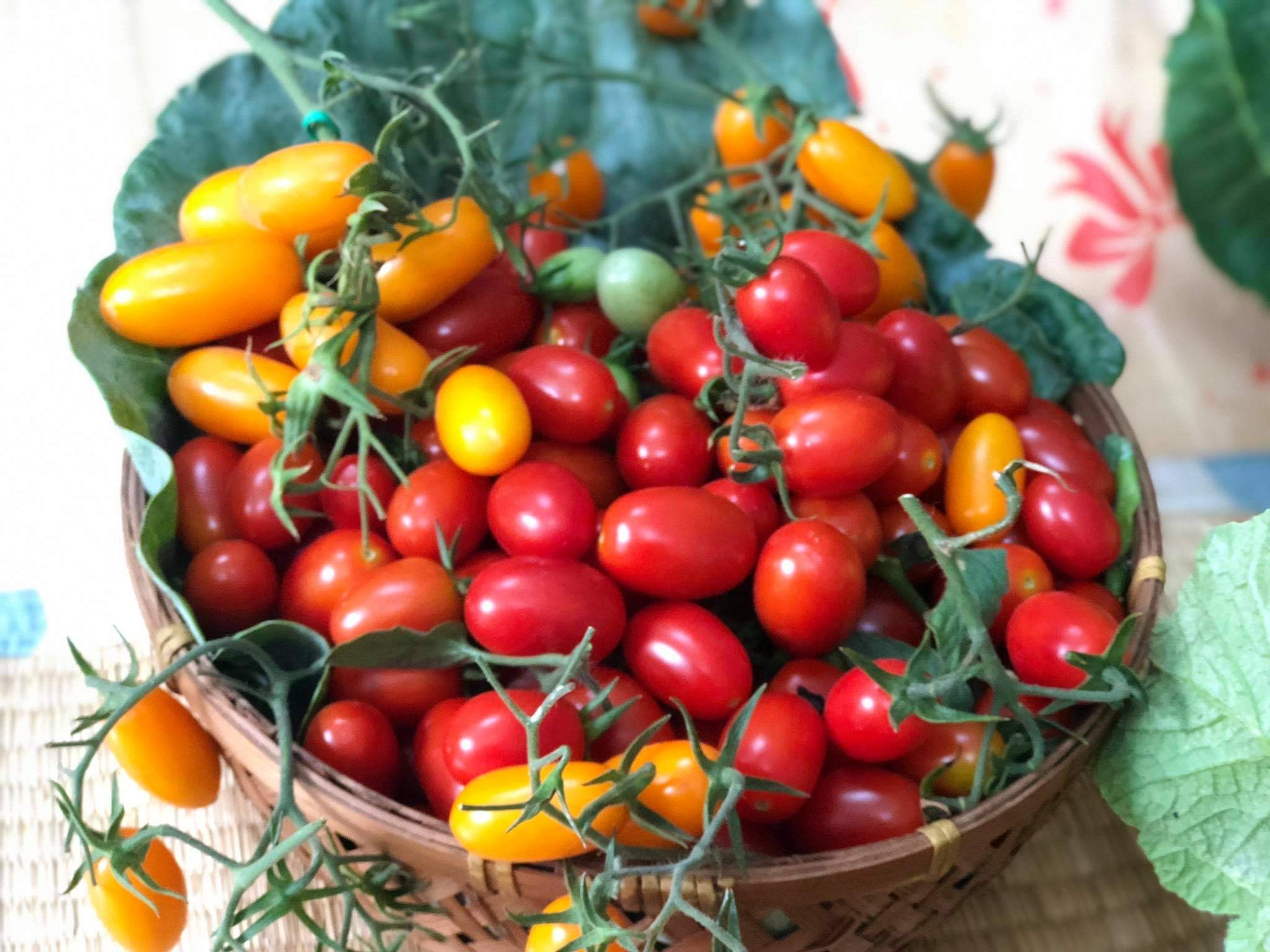 Red and yellow tomatoes harvested from Thuong's balcony garden. Photo: Bui Thuong / Tuoi Tre