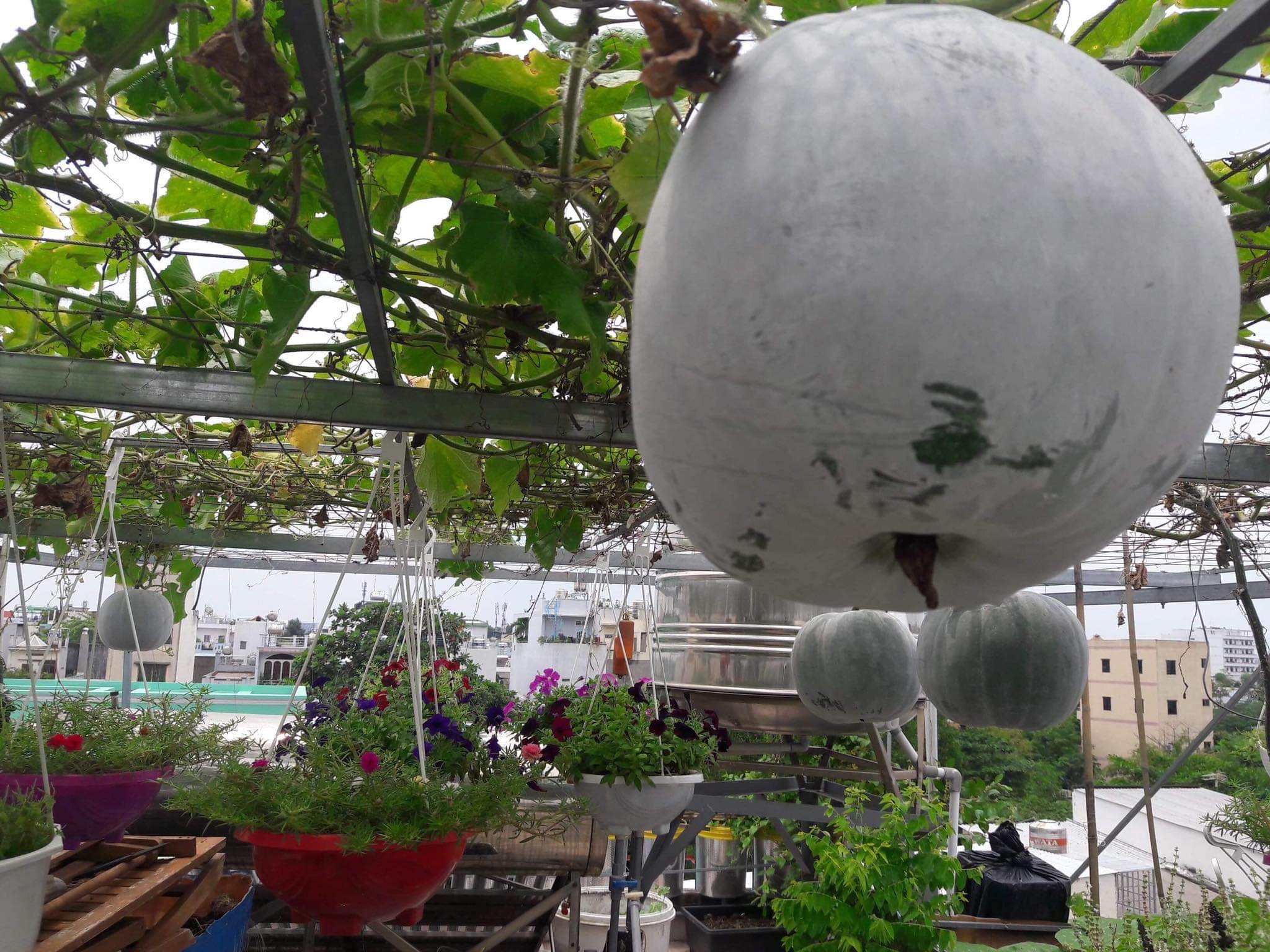 Squash hanging on the vine in Thuong's rooftop garden