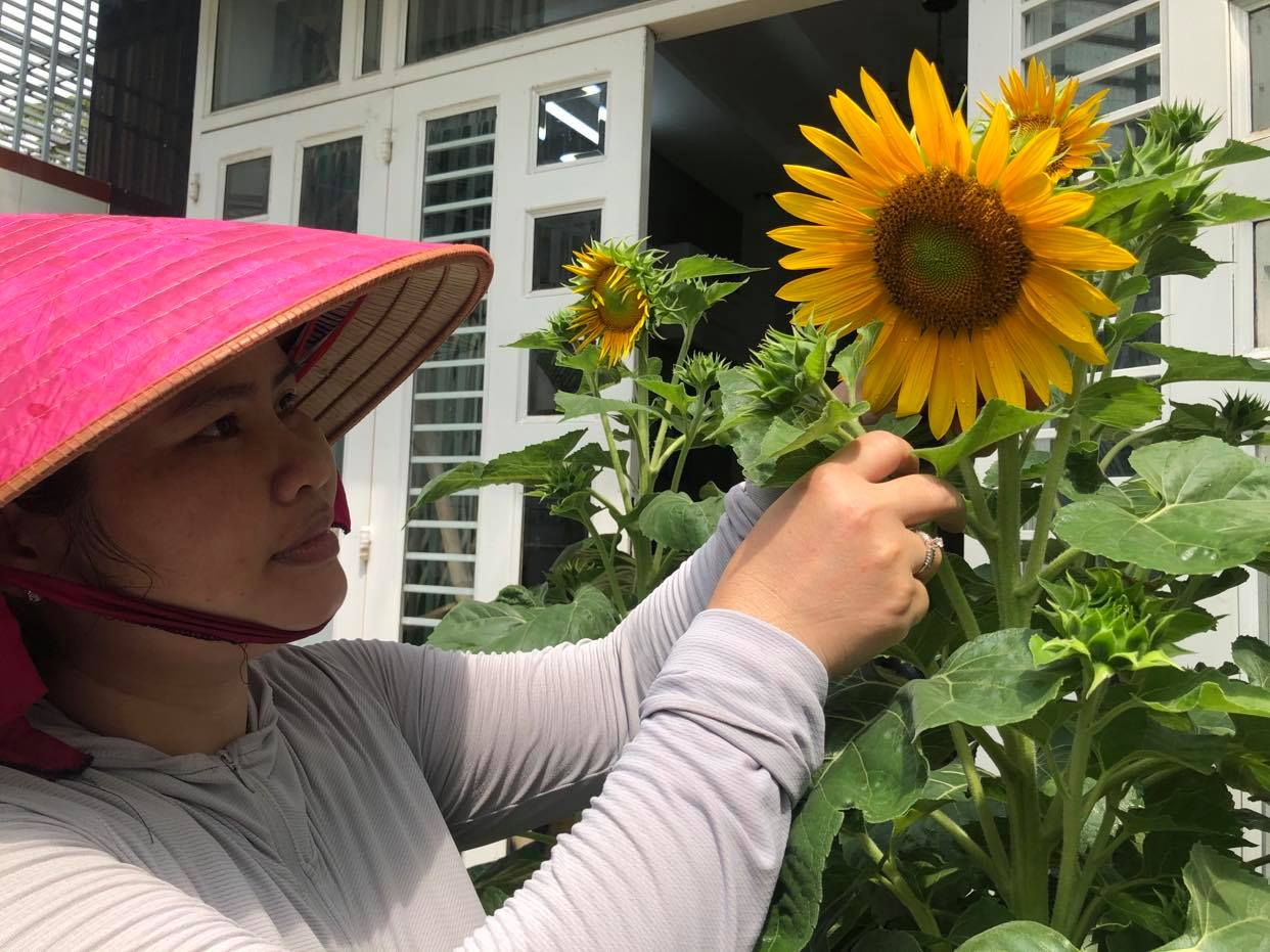 Bui Thuong is attending to the sunflowers in her front garden