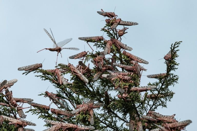 Desert locusts cover the tree tops in Meru, Kenya. The insects are pink in this early stage of development - and at their most voracious. Photo: AFP
