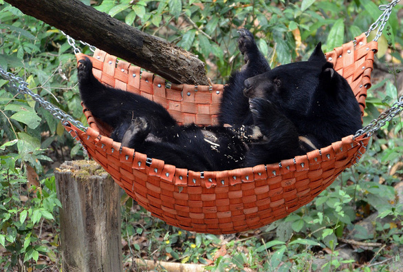 A bear lies on a hammock in the semi-wild area. Photo courtesy of Free The Bears