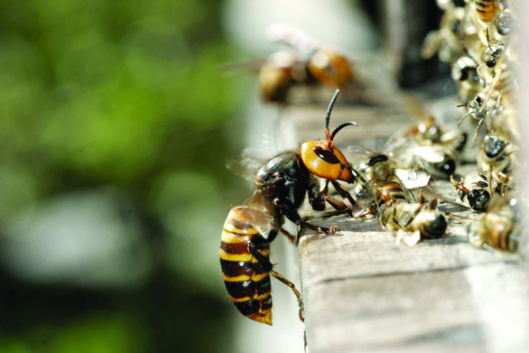 'Murder hornets' slaughter a colony of honey bees in Japan. Photo courtesy: Getty Images
