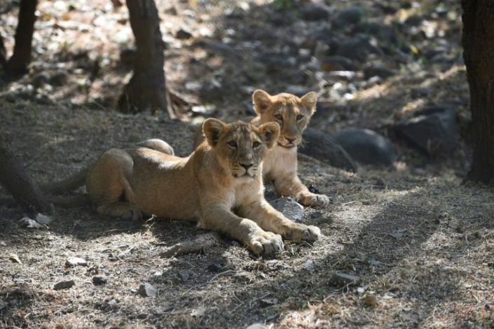 This picture taken on January 7, 2021 shows lion cubs in their open enclosure at the Sakkarbaug Zoological Garden, which takes part in a captive breeding programme for endangered Asiatic lions, in Junagadh, some 320 kilometers from Ahmedabad. Photo: AFP