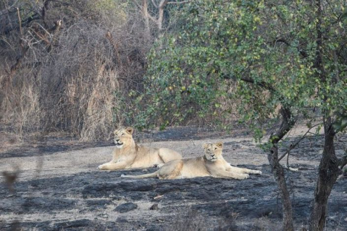 In this picture taken on January 5, 2021 Asiatic lions are seen at the Gir National Park and Sanctuary at Sasan Gir, some 330 kilometers from Ahmedabad. Photo: AFP