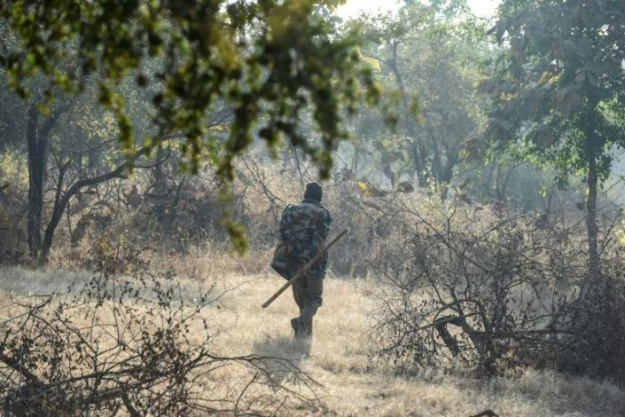 In this picture taken on January 5, 2021 a lion trekker walks in the Gir National Park and Sanctuary at Sasan Gir, some 330 kilometers from Ahmedabad. Photo: AFP