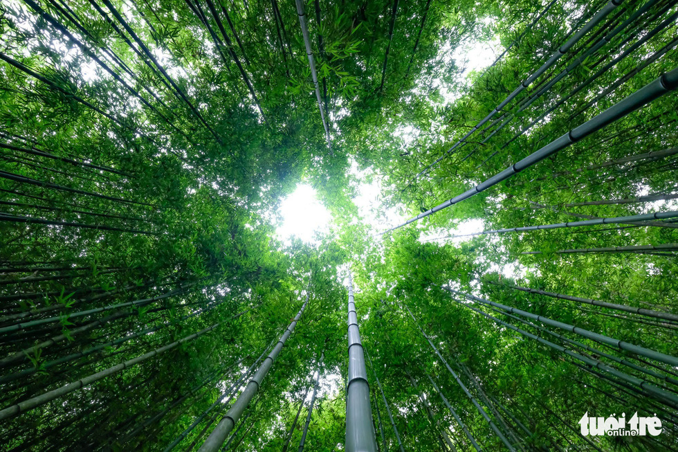 The bamboo forest in Mu Cang Chai District of Yen Bai Province was first planted some six decades ago. Photo: Nam Tran/Tuoi Tre