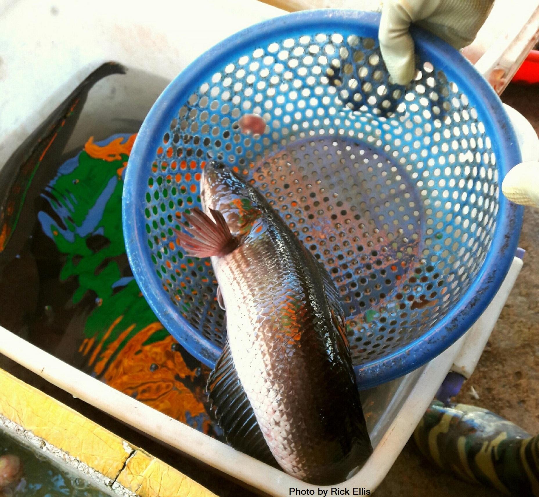 A snakehead fish – 'cá lóc'