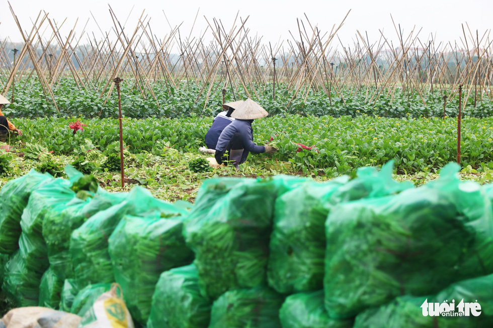 Bags of salad, up to 10kg each, are stocked before being shipped to wholesale markets. Photo: Ha Quan/Tuoi Tre