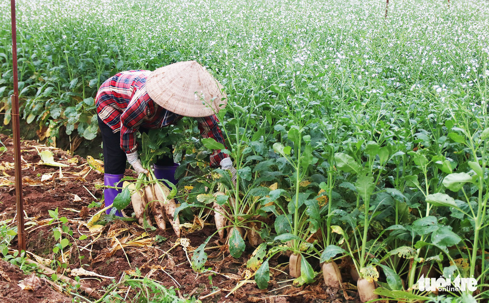 A farmer gathers sugar beets to destroy as they are too old to be sold. Photo: Ha Quan/Tuoi Tre