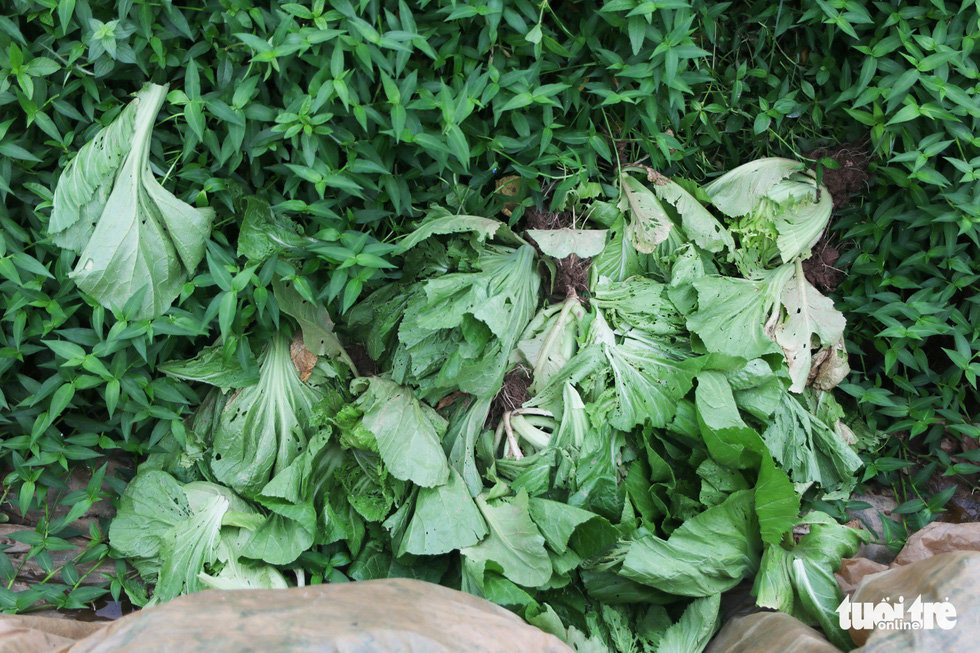 Mustard greens are severely destroyed by pests. Photo: Ha Quan/Tuoi Tre