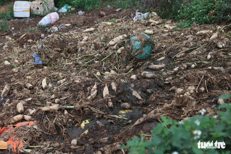 A local landfill is covered up with thrown-away sugar beets. Photo: Ha Quan/Tuoi Tre