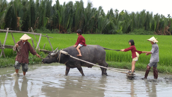 Buffalo-riding is an unmissable activity for tourists in Hoi An. Photo: B.D / Tuoi Tre