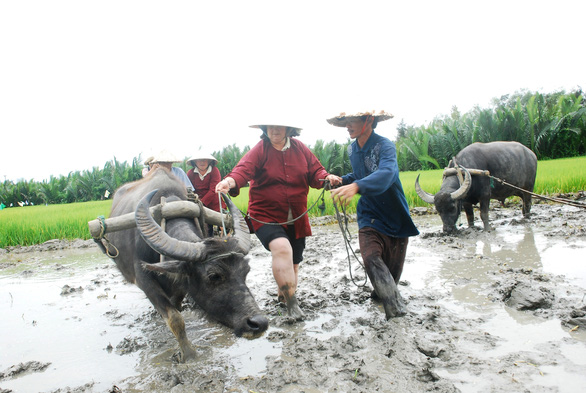 A foreign tourist, dressed in farmers' clothes, tries to walk a buffalo. Photo: B.D / Tuoi Tre