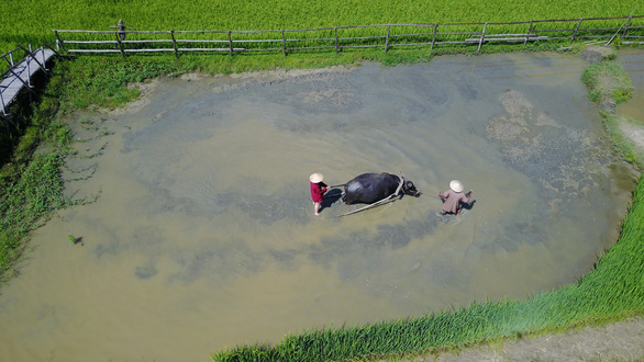 In this aerial photo, a foreign tourist is seen experiencing Vietnamese traditional rice farming practices with a local farmer's guidance. Photo: B.D / Tuoi Tre
