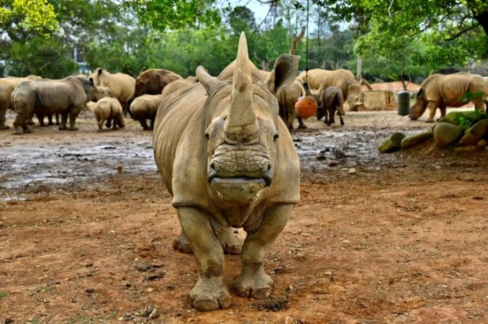 The southern white rhino, found in the wild across southern Africa, currently number less than 19,000. Photo: AFP