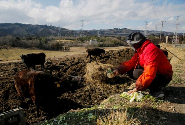 Hisae Unuma feeds vegetables to a bullock at the Ranch of Hope, a cattle farm owned by Masami Yoshizawa, who defied an order to cull his irradiated livestock in protest against the government and Tokyo Electric Power after the Fukushima nuclear disaster, in Namie, Fukushima Prefecture, Japan, February 23, 2021. Photo: Reuters