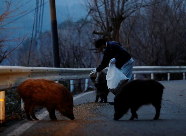 Sakae Kato feeds wild boars in front of his home, in a restricted zone in Namie, Fukushima Prefecture, Japan, February 20, 2021. Photo: Reuters