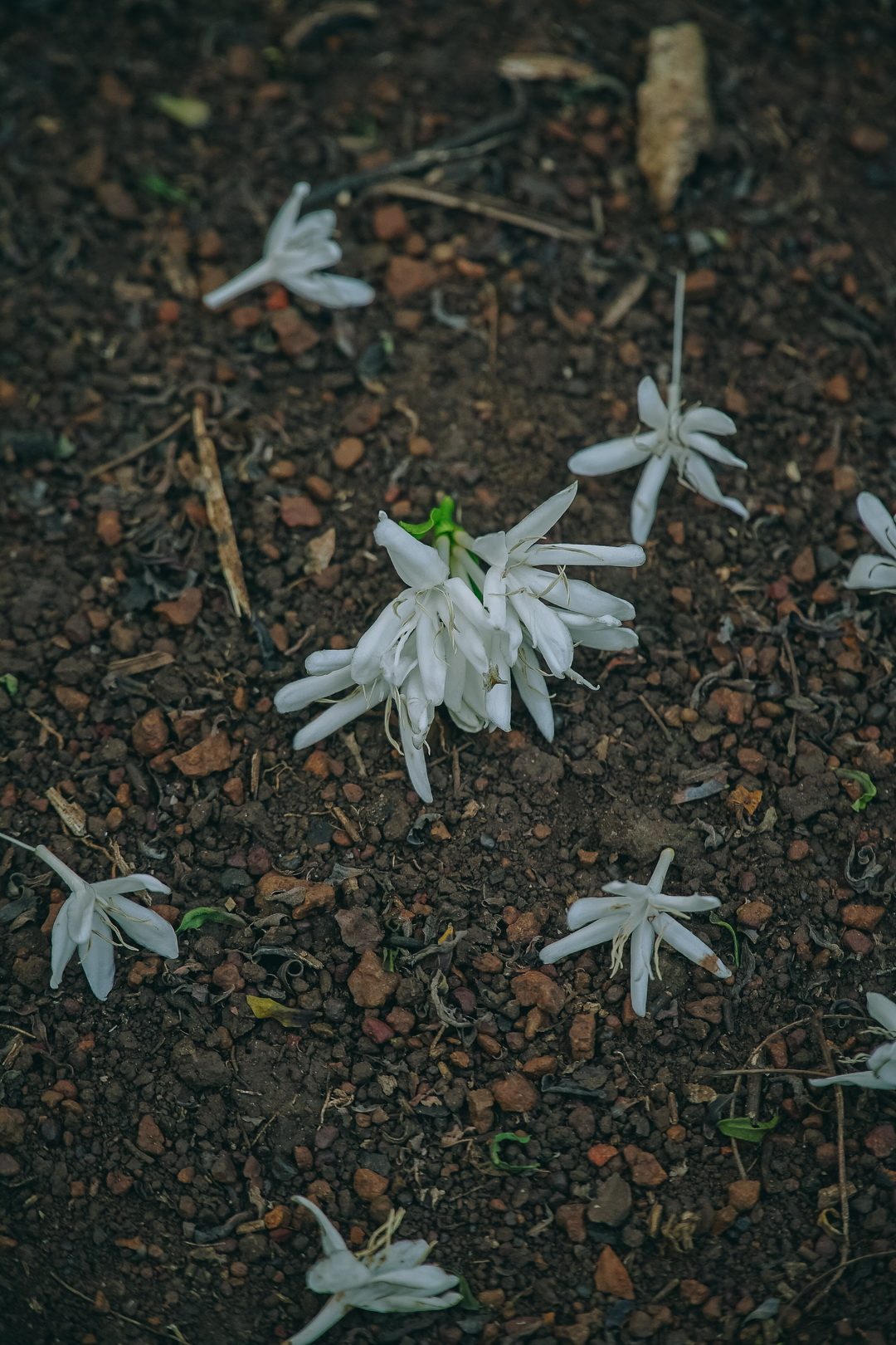 Coffee flowers on the ground in the garden of Nguyen's father in the Central Highlands province of Dak Lak. Photo: Van Nguyen
