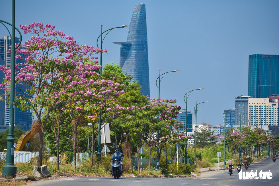 Rosy trumpet trees are seen in full bloom on To Huu Street, Thu Duc City. Photo: Ngoc Phuong / Tuoi Tre