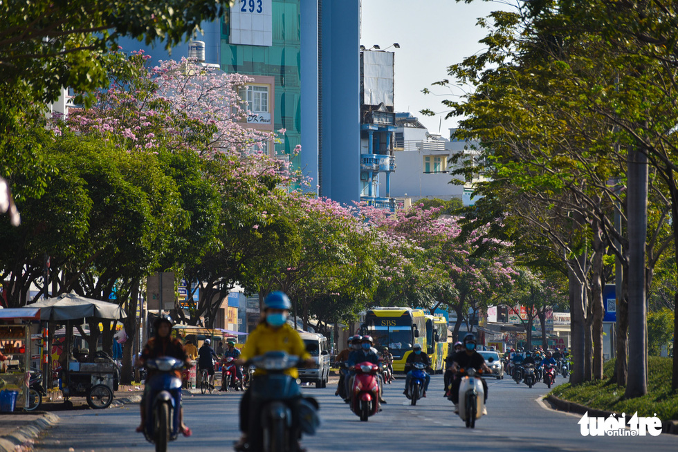 Rosy trumpet trees are seen in full bloom on Dien Bien Phu Street in Binh Thanh District. Photo: Ngoc Phuong / Tuoi Tre