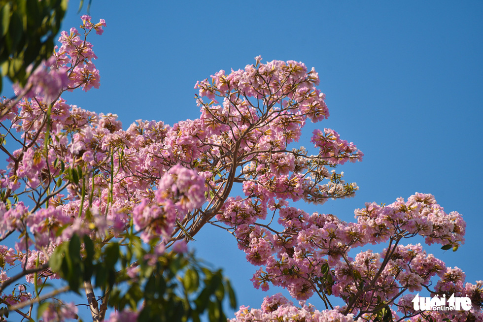 The pinkish flowers of rosy trumpet are set against the blue background of the sky. Photo: Ngoc Phuong / Tuoi Tre.