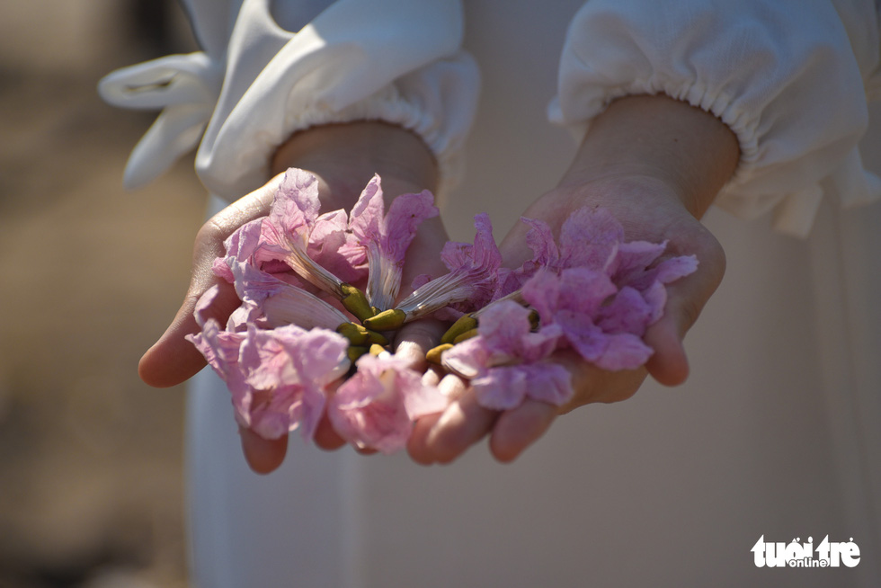 In the photo, the withered rosy trumpet flowers are seen on hands of a woman. Photo: Ngoc Phuong / Tuoi Tre