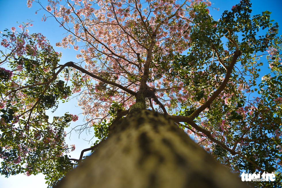 A canopy view of a blooming rosy trumpet tree. Photo: Ngoc Phuong / Tuoi Tre