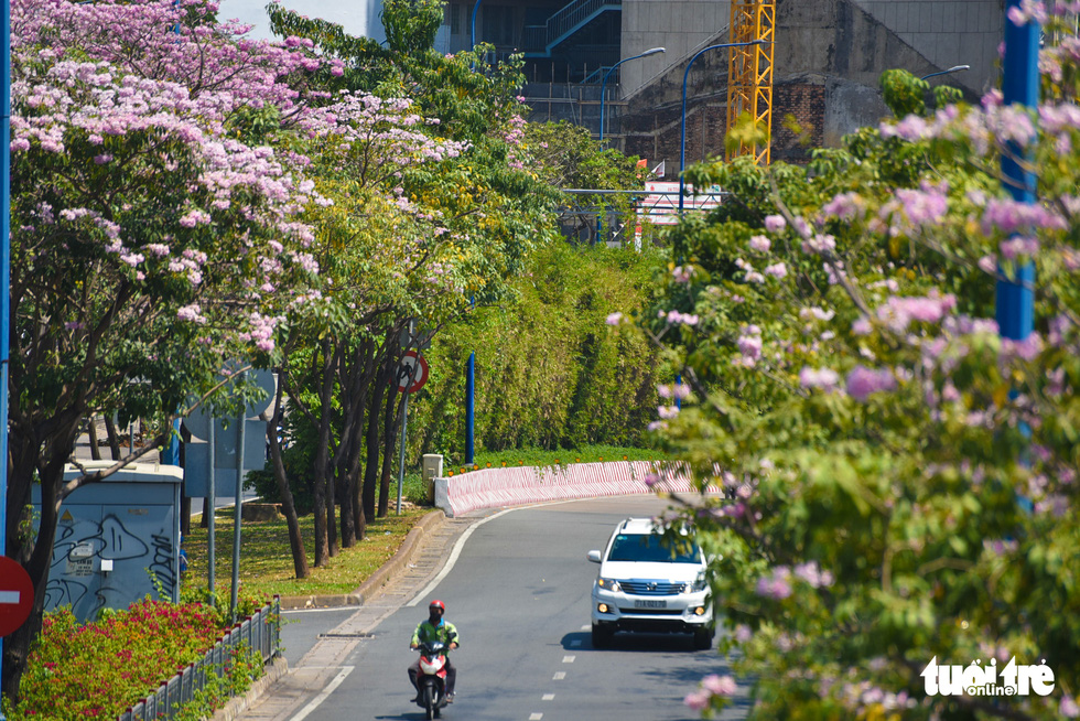 Rosy trumpet trees are seen in full bloom in Ho Chi Minh City. Photo: Ngoc Phuong / Tuoi Tre