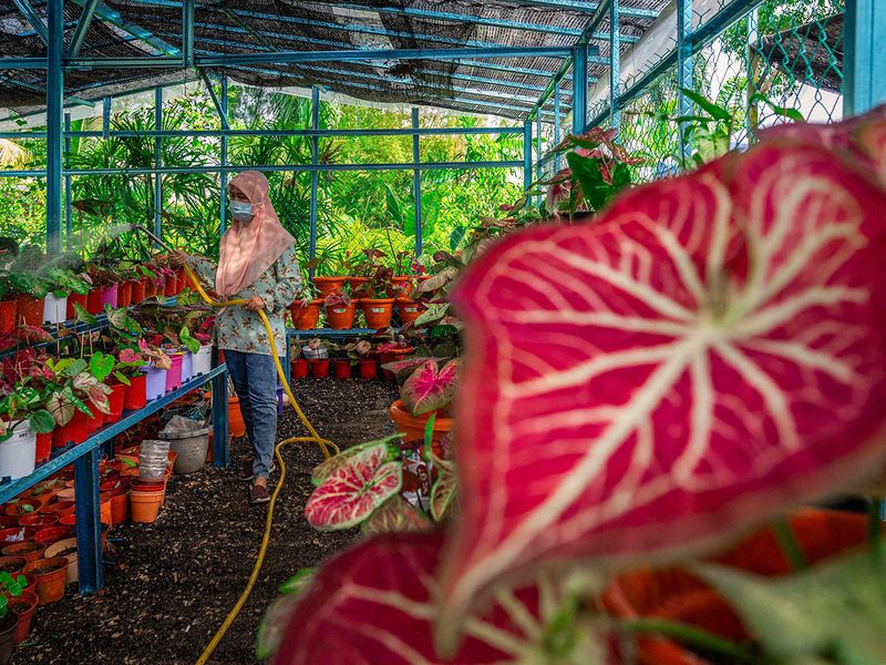 Zalina Bakar watering her private collection of caladium plants at her nursery in Sungai Besar, outside Kuala Lumpur. Photo: AFP