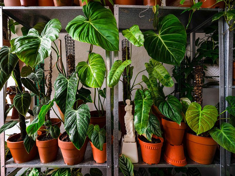 Potted plants are seen at the Kuala Lumpur home of  collector Leiister Soon. Photo: AFP