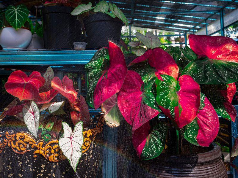 Potted plants in the nursery of owner Daud Kasim in Sungai Besar, 100 kilometres (60 miles) northwest of Kuala Lumpur. Photo: AFP