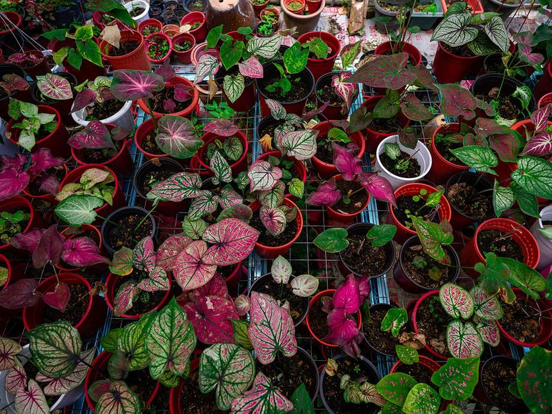 Caladium plants for sale at a nursery in Sungai Besar, outside Kuala Lumpur. Photo: AFP