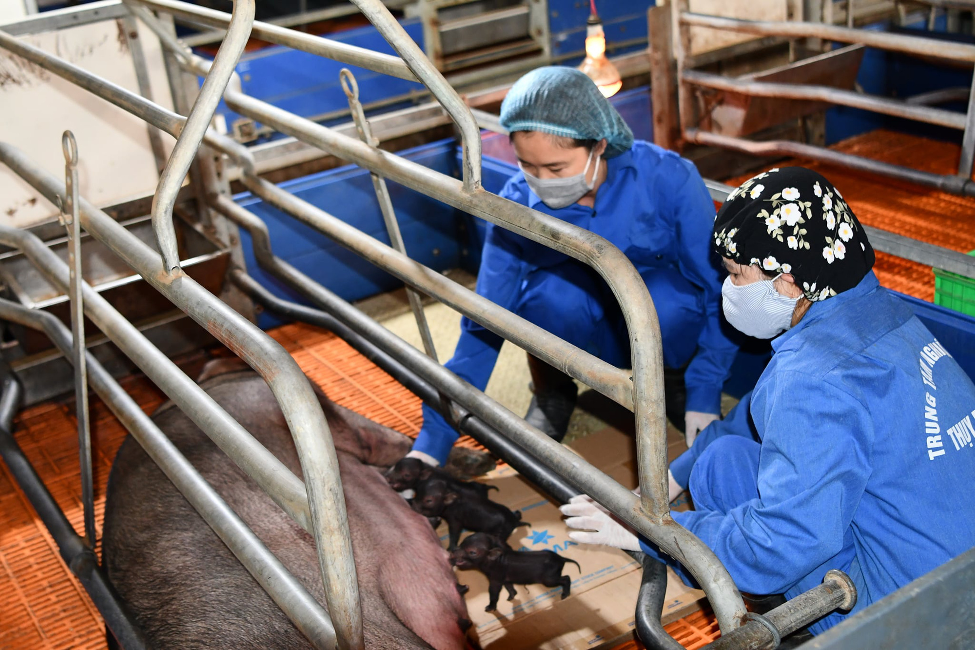 Scientists take care of cloned piglets in Vietnam. Photo: V. Giang / Tuoi Tre