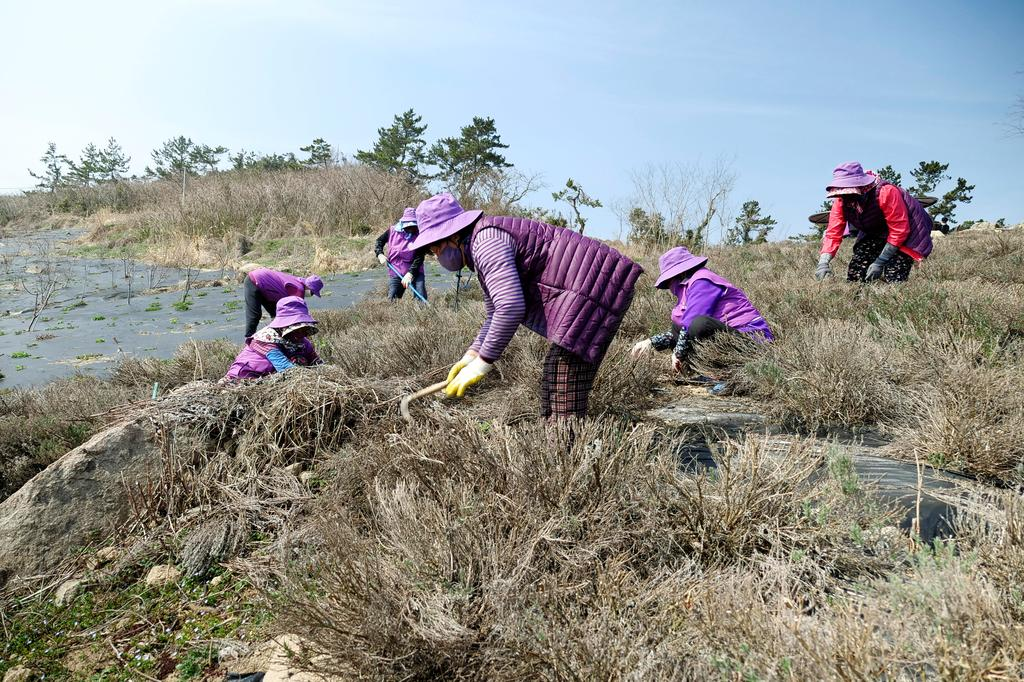 Residents dressed in purple clothing work in a lavender field at the Purple Island in Shinan, South Korea, March 8, 2021. Picture taken March 8, 2021. Photo: Reuters